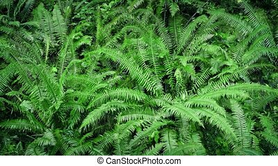 Moving Slowly Above Woodland Ferns - Overhead shot moving...