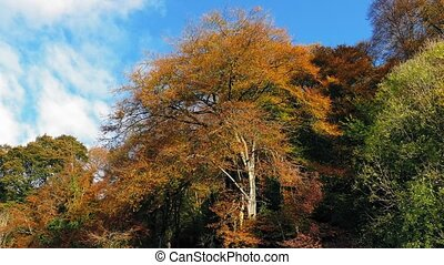 Large Woodland Trees In Fall Colors - Trees swaying in...
