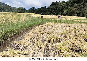 farmer harvesting rice in paddy field - ¨Farmer harvesting...