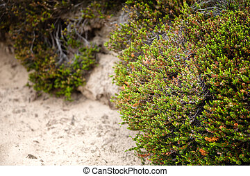 Green heather on a sandy surface