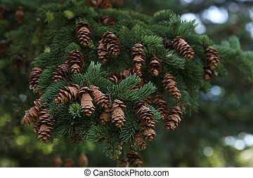 Spruce tree branch with cones. - Picea abies in summer time.