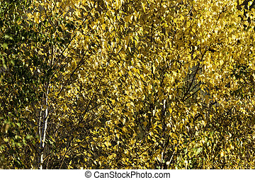 Yellow leaves Paper Birch - Paper Birch leaves bright yellow...