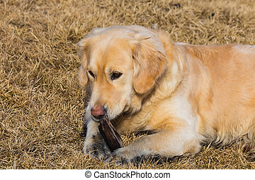 Golden retriever dog  playing on dry grass