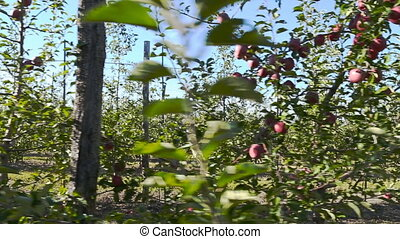 garden with red apples closeup
