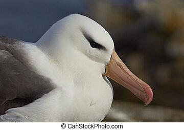 Portrait of a Black-browed Albatross (Thalassarche...