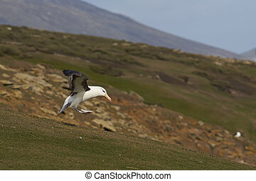 Black-browed Albatross landing - Black-browed Albatross...