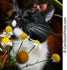 Black and white cat with pleasure is sniffing chamomile. His...