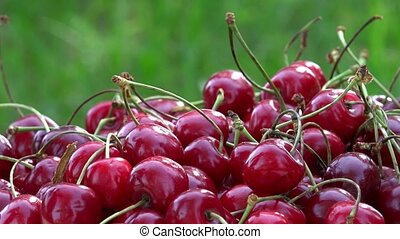 Hand put ripe cherry berries on sunlight in garden. Rotating...