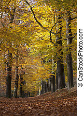forest lane between yellow leaves of beech trees in the fall