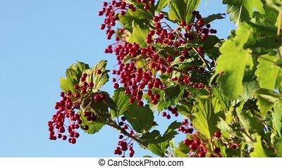 Viburnum ripe red berries