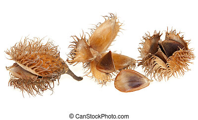 spilled seed beech - spilled seed with beech fruit on white...