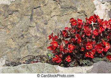 Red begonias in bloom