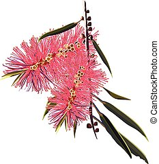Australian Bottlebrush Flora - Australian Bottlebrush...