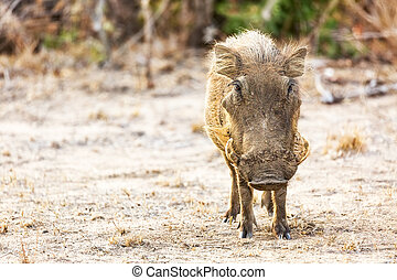 Warthog in Kruger National Park, South Africa with room for...