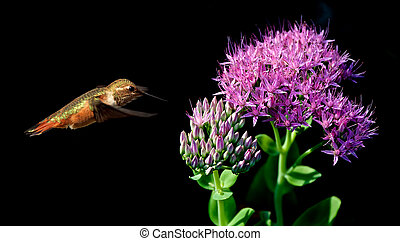 Rufous Hummingbird flying against black background - Rufous...