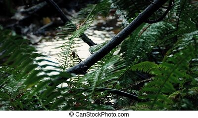 Heavy Rainfall On Ferns In The Forest - Ferns deep in the...