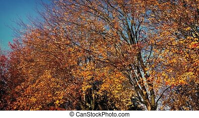 Moving Past Fall Trees In The Sun - Dolly shot moving slowly...
