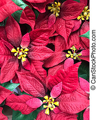 Beautiful red Poinsettia christmas flower - Top view of...