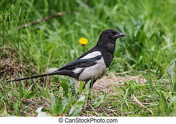 Magpie sitting in the green grass