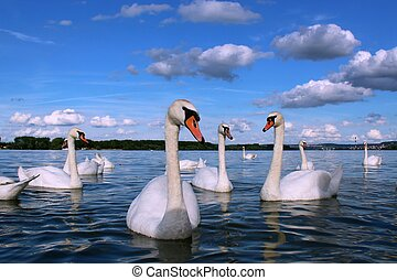 Danube swans in perfect spring day in Zemun, Belgrade