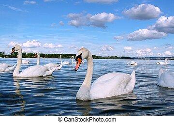 Danube swans in perfect spring day at Zemun dock, river...