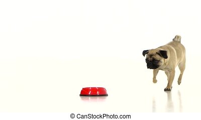 Pug runs to his bowl with a dry food. White background - Pug...