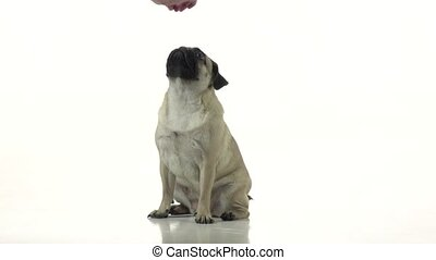 Pug gets dry food out of the hands. Slow motion - Girl feeds...