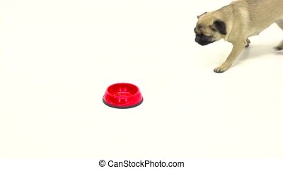 Pug runs to toe with food or eating it. Slow motion