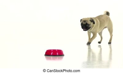 Puppy runs for his food in a bowl. Slow motion - Happy pug...