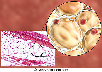 Fat cells, micrograph and 3D illustration - White adipose...