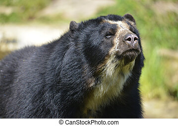 Portrait Andean bear (Tremarctos ornatus)