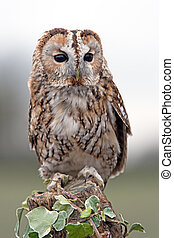 Tawny Owl (Strix Aluco) - Tawny Owl perched on ivy covered...