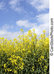 Yellow colza field - Yellow flowers of colza field at...
