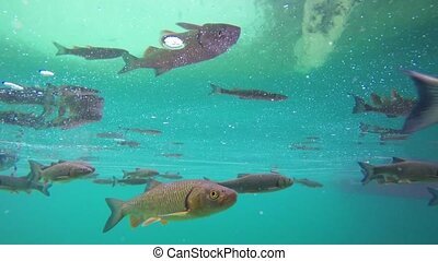 Fish swimming in Plitvice lake