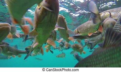 Fish swimming in Plitvice lake, underwater scene