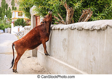 Cow in Leh - Cow is reaching for green tree branches on a...