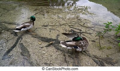 Two ducks sitting in shallow water in Plitvice National...