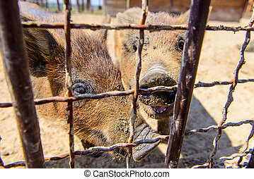 animal red pig with funne nose on the farm