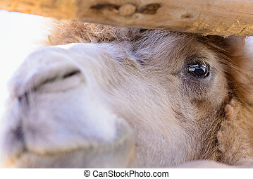 bactrian camel animal - bactrian camel exotic animals at the...