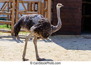 bird ostrich exotic