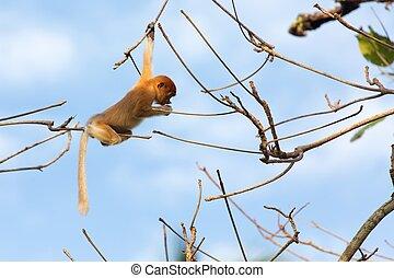 Proboscis monkey in borneo jungle - Young Proboscis monkey...