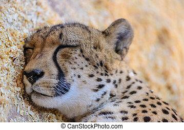 Leopard sleeping exotic animals