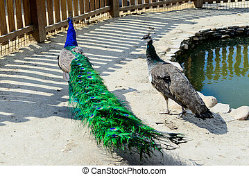 bird peacock couple