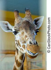 African giraffe exotic animal