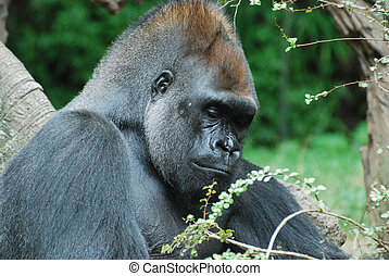 A Great Look at a Silverback Gorilla - An up close look at a...