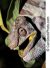 angry panther chameleon (Furcifer pardalis) - Angry big...