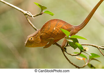 Parson's chameleon (Calumma parsonii) is a large species of...