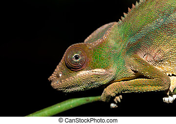 panther chameleon (Furcifer pardalis) in rainforest at...