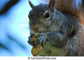 Very Hungry Squirrel With a Peanut - Cute squirrel eating a...