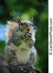 Very Hungry Squirrel Eating a Nut - Cute squirrel who is...